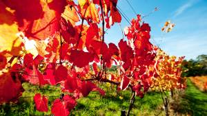 autumn vine leaves in an adelaide hills vineyard