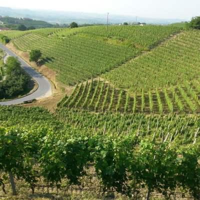 vineyard in barolo