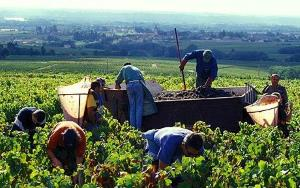 harvesting grapes by hand in beaujolais