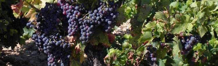 ripe grapes in bordeaux vineyard