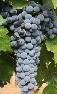 bunch of cabernet sauvignon grapes