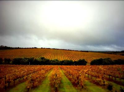 d'arenberg vineyards in autumn