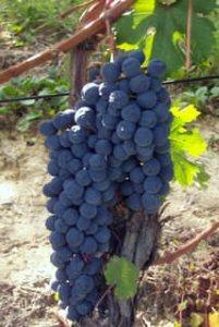 ripe dolcetto grapes of azienda giribaldi