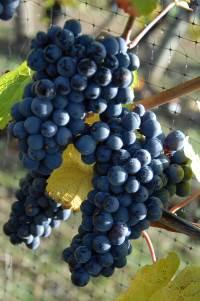 ripe gamay noir grapes