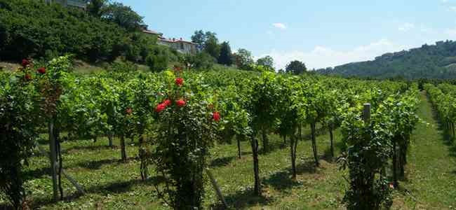 vineyard of azienda giribaldi