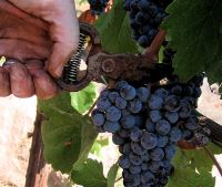 manual harvest at mouton rothschild