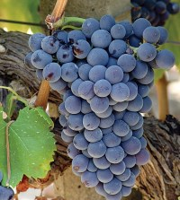 ripe grenache noir grapes