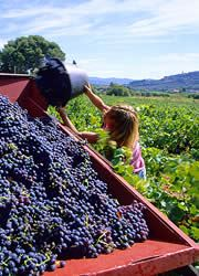 grape harvest in provence
