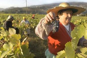 traditional hand harvesting grapes in the Douro