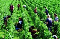 harvesting by hand at ch. haut-brion