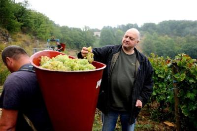 inspecting the harvested grapes