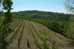 langhe arneis vineyard belonging to azienda giribaldi