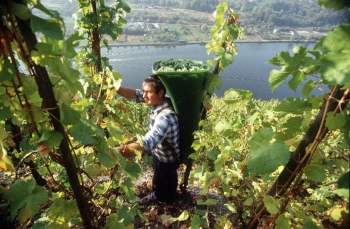 harvesting by hand is the only option in the Mosel valley vineyards