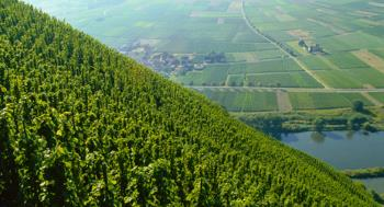 steep vineyard above the river mosel in germany
