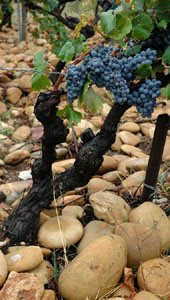 mourvedre grapes with galets in chateauneuf du pape