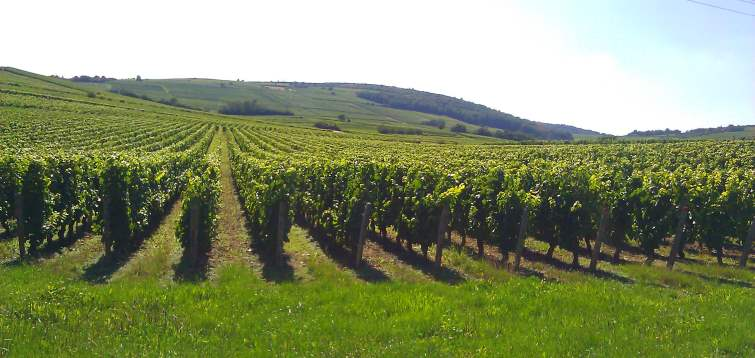domaine nicolas potel vineyard