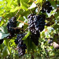ripe pinot meunier champagne grapes