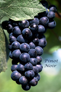 bunch of pinot noir grapes