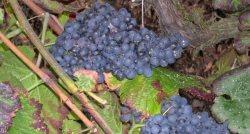 ripe cabernet sauvignon grapes