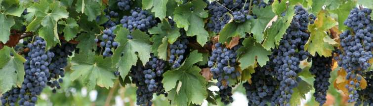 ripened wine grapes on the vine, Italy