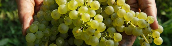ripe sauvignon blanc grapes bordeaux