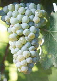 bunch of ripe sauvignon blanc grapes