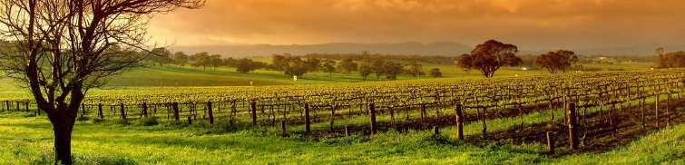 vineyard in the southern Barossa valley