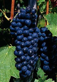 bunch of syrah grapes
