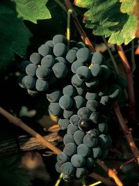 ripe tinta roriz grapes