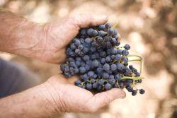 torbreck - ripe barossa grapes