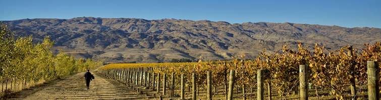vineyard area in central otago, south island, new zealand