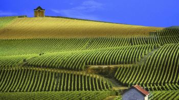 vineyard slope in the cote de blancs, champagne