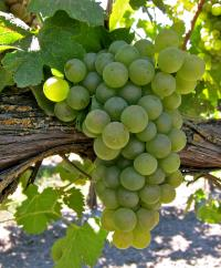 bunch of viognier grapes