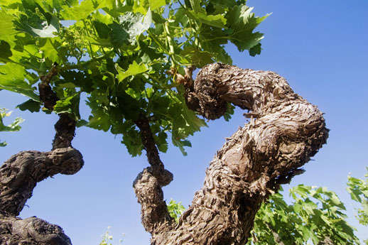 Lopez de Heredia Vina Gravonia vines
