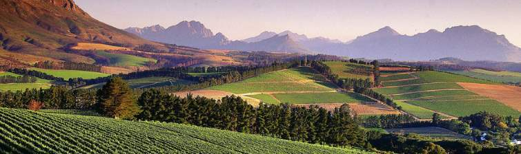 view of vineyards in south africa's western cape region